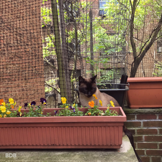 Siamese Cat-Cat-New York-Housesitting